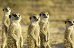 Meerkat Manor by Chad Henning/Animal Planet
